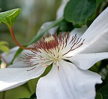White Clematis by Vickie Emms
