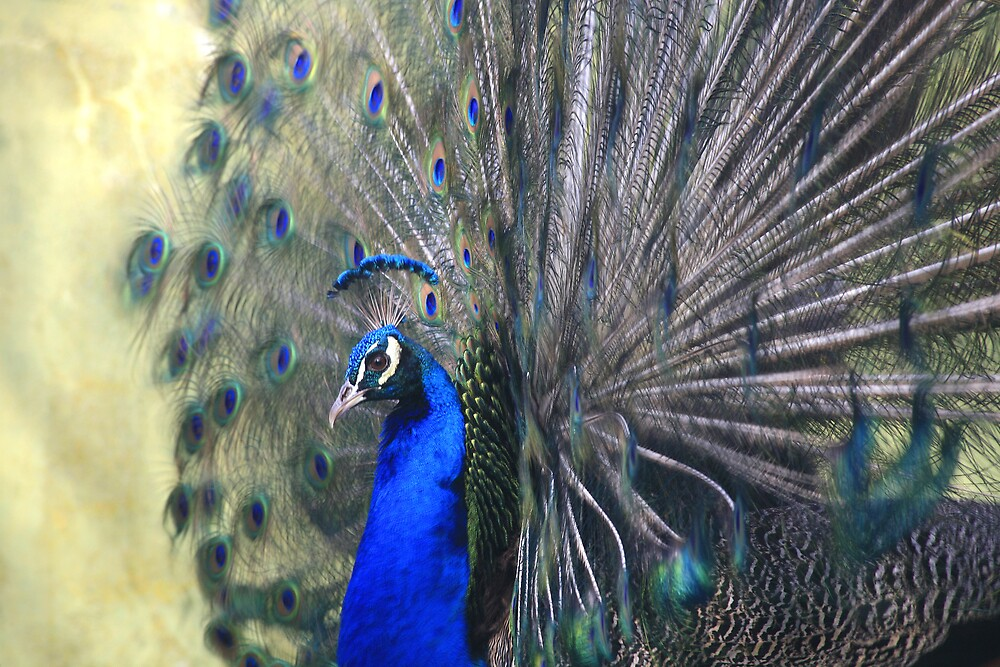 luffy Feathered Peacock by Katelinder2000