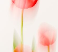 Tulip Softness by DIANE  FIFIELD