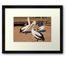 Australian Pelicans, Monkey Mia, Western Australia Framed Print