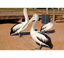 Australian Pelicans, Monkey Mia, Western Australia Photographic Print