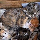 Morocco - Family cat by Jean-Luc Rollier