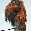 Orang Utan by Steve  Liptrot