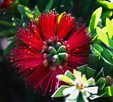 Callistemon Citrinus by Evita