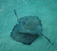 Stingrays by caymanlogic
