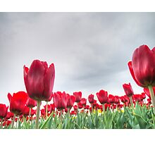 Red tulips 4 Photographic Print