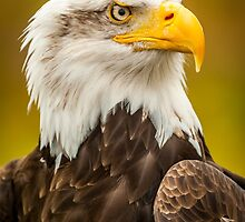 Bald Eagle by mlphoto