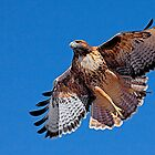 Red Tailed Hawk Calendar - Edition 2 by Marvin Collins