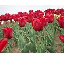 Red tulips 6 Photographic Print