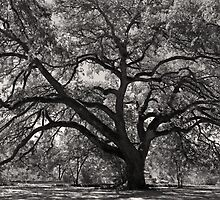 St. Mary's Oak by Bonnie T.  Barry