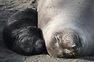 Elephant Seal Naptime by CarolM