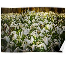 Snowdrop Woods Welford Poster