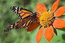 Food for Monarchs by Eyal Nahmias