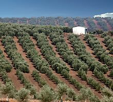 Olive Orchard by phil decocco