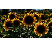 sunflower backlit Photographic Print