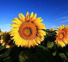 Sunflower in a field, blue sky by Andras Harman