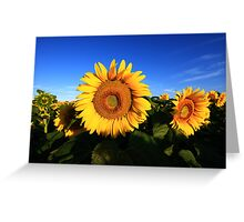 Sunflower in a field, blue sky Greeting Card