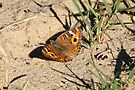 Salt Lick, Butterfly BigMa3 by Normf
