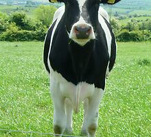 One Serious Cow Profile by Alan Hogan