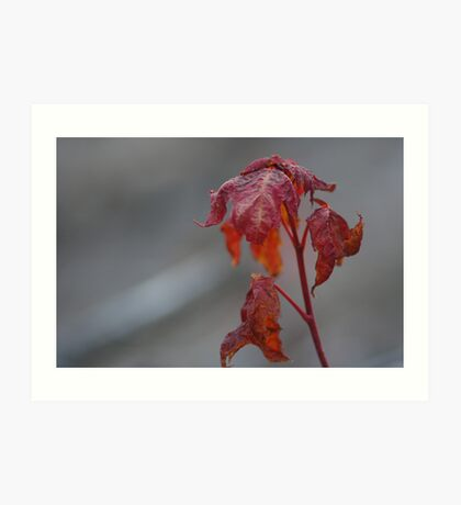 Maple Sprout Art Print