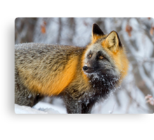 Cross Fox in the Arctic Canvas Print