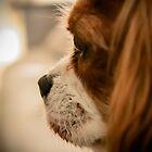 Cavalier King Charles Spaniel  by Ryan Adams