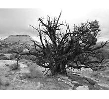 Old Tree Photographic Print