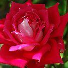 Love Rose II by Donna Adamski