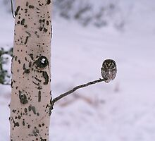 BOREAL OWL by Chuck Wickham
