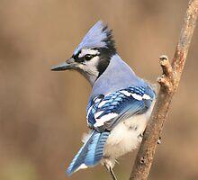 Blue Jay (native to Canada) by whisperjo