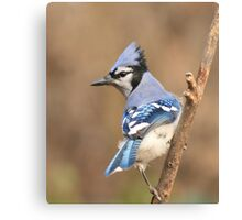 Blue Jay (native to Canada) Canvas Print