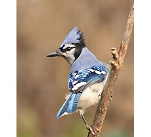 Blue Jay (native to Canada) Photographic Print