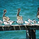 Pelicans by julie08