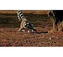 Flight of the Lemur Photographic Print