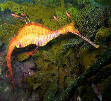 Weedy Sea Dragon by Edjamen
