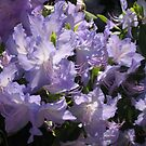 Rhododendron Augustinii at Lakewold  by Pat Yager