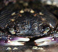 Purple Rock Crab by Lars