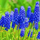 Muscari - Impressions Of Spring by Georgia Mizuleva