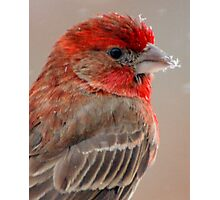 House Finch - Close up Photographic Print