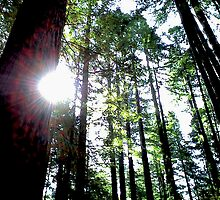 Redwood Sun Streaks by LeeRoberts