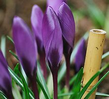 Crocus and Bamboo by lizalady