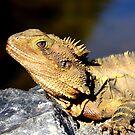 Water dragon up close (_Physignathus lesueurii lesueurii_) by tarnyacox