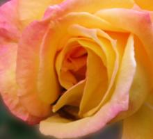 In Dreams - Gorgeous Peach Rose Sticker