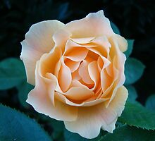 Peach Rose~ by virginian