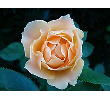 Peach Rose~ Photographic Print