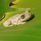 Northern Laughing Tree Frog, Litoria rothi by peterstreet
