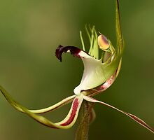 Spider Orchid - Detail by LeeoPhotography