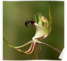 Spider Orchid - Detail Poster