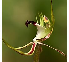 Spider Orchid - Detail Photographic Print