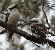 Kookaburras Hunting by kgruber